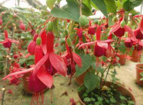 Семена Фуксии, смесь цветов, 100 шт