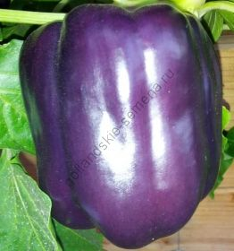 "Перец сладкий ""ПУРПУРНЫЙ КОЛОКОЛ"" (Purple Bell) 40 семян"
