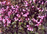 "Вейгела цветущая ""Нана пурпуреа"" (Weigela florida Nana Purpurea)"