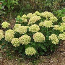 Гортензия метельчатая Литл Лайм (Hydrangea paniculata 'Little lime')