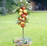 Семена карликовой яблони бонсай, 20 шт.