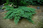 Можжевельник казацкий (Juniperus sabina L)