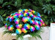 Радужная хризантема, редкий цвет, 20 семян