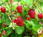 "Земляника ""ЛЕСНАЯ"" (Wild strawberry) 10 семян"