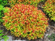 Спирея японская Голд Флейм (Spiraea japonica Goldflame)