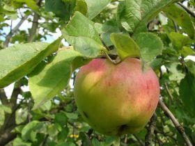 Яблоня традиционная Антоновка десертная