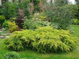 Можжевельник средний Голд Кост (Juniperus media Gold Coast)