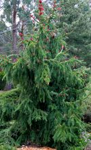 Ель обыкновенная Акрокона (Picea abies Acrocona)