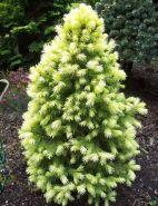 Ель Сизая (канадская) Дейзи Уайт (Picea glauca Daisys White)
