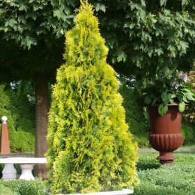 Туя Западная Голден Смарагд (Thuja occidentalis Golden Smaragd), С2, 40-50