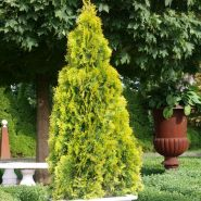 Туя Западная Голден Смарагд (Thuja occidentalis Golden Smaragd)