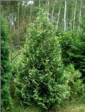 Туя западная Сильвер Смарагд (Thuja occidentalis Silver Smaragd)