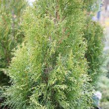 Туя западная Вайт Смарагд (Thuja occidentalis White Smaragd)