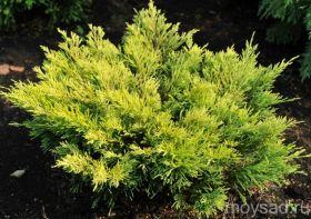 Можжевельник горизонтальный Лайм Глоу (Juniperus horizontalis Limeglow), С2, 30-40