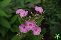Флокс 'Пинк Лейди' / Phlox 'Pink Lady'