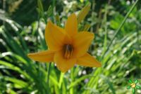 Лилейник 'Нортон Оранж' / Hemerocallis 'Norton Orange'