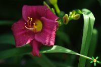 Лилейник 'Супер Пепл' / Hemerocallis 'Super Purple'