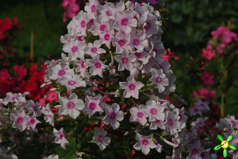 Флокс 'Мисс Холланд' / Phlox 'Miss Holland'