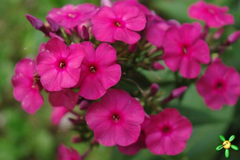 Флокс 'Никки' / Phlox 'Nicky'  (=Dusterlohe)