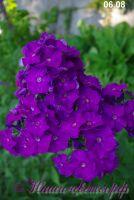 Сеянец флокса 'Ворговаж' / Seedling phlox'Vorgovazh'