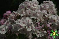 Сеянец флокса 'Бесприданница' / Phlox Seedling 'Bespridanica'