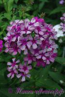 Сеянец флокса 'Мельница' / Phlox Seedling 'Melnitsa'