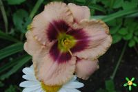 Лилейник 'Авесом Блоссом' / Hemerocallis 'Awesome Blossom'
