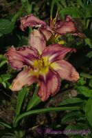 Лилейник 'Милдрейт Митчел' / Hemerocallis 'Mildred Mitchell'