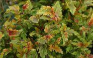 Пузыреплодник калинолистный Хамелеон (Physocarpus opulifolius Chameleon)