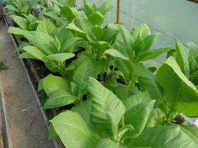 Семена табака сорта Герцеговина Флор