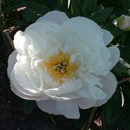 Пион Мисс Америка (Paeonia lactiflora Miss America)