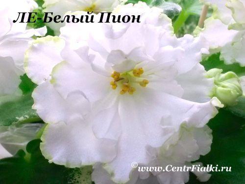 ЛЕ-Белый Пион (Е.Лебецкая)