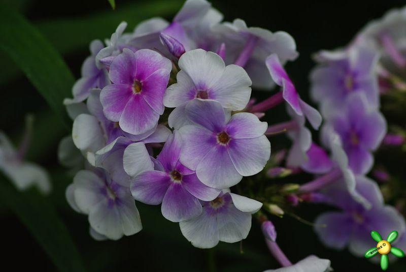 Флокс 'Лавандервольке' / Phlox 'Lavendelwolke'