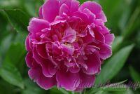 Пион травянистый 'Гудс дрим' / Paeonia 'Goods Dream'