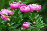 Пион травянистый 'Сорбет' / Paeonia 'Sorbet'