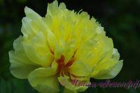 Пион гибридный 'Бартцелла' / Paeonia ITOH 'Bartzella'