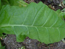 Семена табака Американ 63