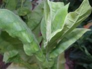 Семена табака Американ чепчиковидный