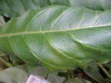Семена табака Дюбек 44.