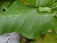 Семена табака Имунный 0580