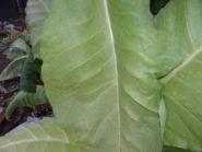 Семена табака сорта Собольческий-33.