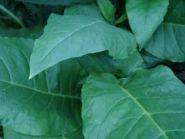 Семена табака сорта Прилукский 75