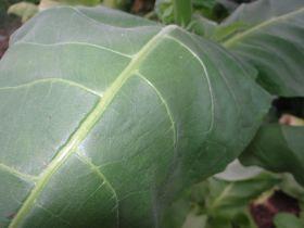 Семена табака сорта Собольческий 193
