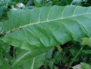 Семена табака сорта Тернопольский Новый