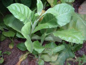 Семена табака сорта Турецкий Трапезонд