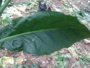 Семена табака сорта Greenwood(Берли).