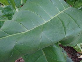 Семена табака сорта VА 509