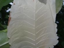 Семена табака сорта Burley 320/1