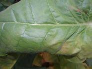 Семена табака сорта Burley 64