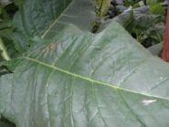 Семена табака сорта BIG GEM (Берли)